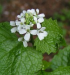 Garlic Mustard Weed - Herbaceous biennial with stems 1–4' tall as flowering plant. First year plants form a basal rosette that remains green through the winter. Second-year plants produce one to several flowering stems.