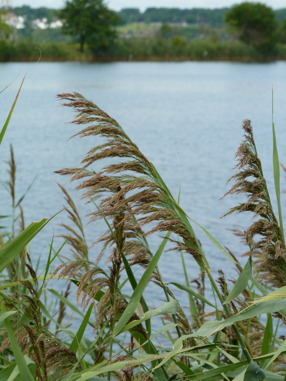 Phragmites (Common Reed) - Perennial wetland grass that grows 3-20' tall with dull, very slightly ridged, stiff, and hollow stems. Create dense clones where canes remain visible in winter.