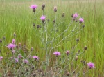 Spotted Knapweed - Herbaceous, short-lived perennial in Wisconsin, acting as a biennial elsewhere, 2–4' tall. Persists as a rosette for 1–4 years before bolting. Flowering plants usually have 1–6 stems, but may have up to 20.