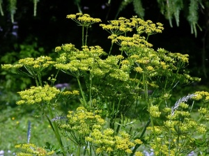 Wild Parsnip - Herbaceous plant that establishes as a rosette with upright leaves persisting for at least one year. Plants flower in subsequent years (typically 2nd or 3rd year), but after plants flower, they die (monocarpic perennial). Flowering stems are stout, hallow, grooved, and up to 5' tall.