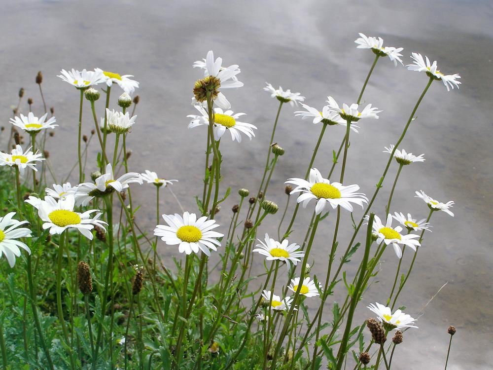 Ox-Eye Daisy 14