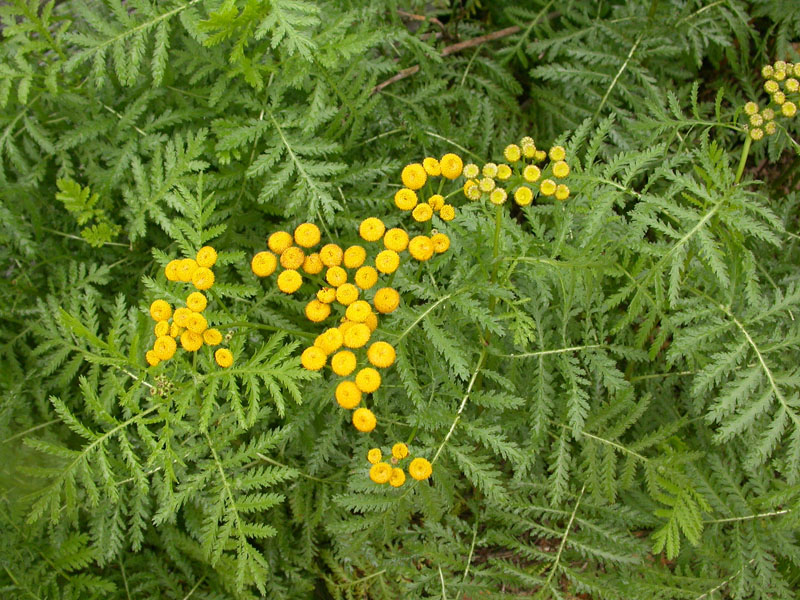 tansy_plants_flowers_ed