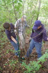Using the homemade weed wrench to pull buckthorn