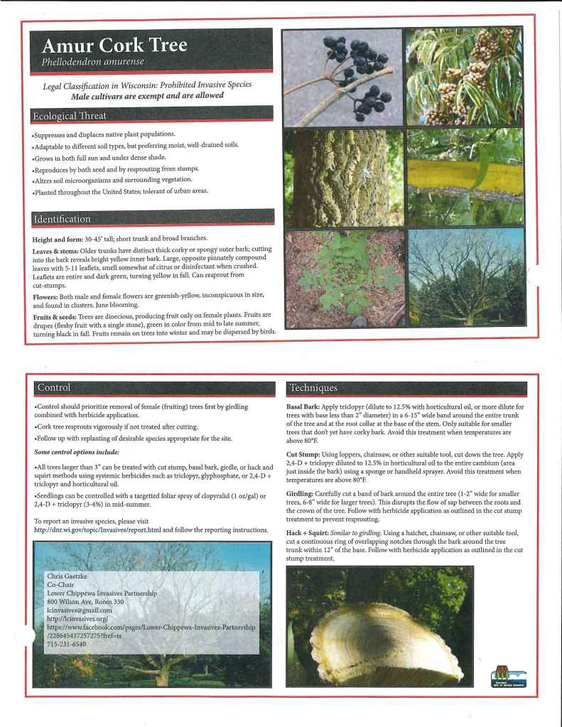 Amur Cork Tree Factsheet